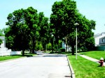 This residential site in Toledo, Ohio, is a Herms trial, establishing the performance and dose rate for a product called Xytect when used on these larger-sized trees