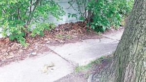 A sidewalk in Ithaca, N.Y., heaved up, most likely from the tree's roots. Prior to the city's enacting a Sidewalk Improvement District, the property owner would have been responsible for the cost of replacing or repairing the sidewalk. (Photo provided)