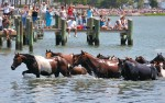Onlookers watch as wild ponies swim from Assateague Island to Chincoteague Island. The animals are headed for carnival grounds, where the foals will be auctioned off. The following day the adult horses are sent back to Assateague to replenish the herd for another year.