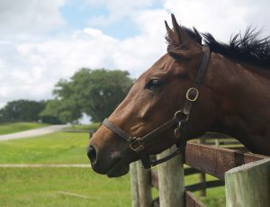 Today Ocala and surrounding Marion County boast nearly 1,200 horse farms