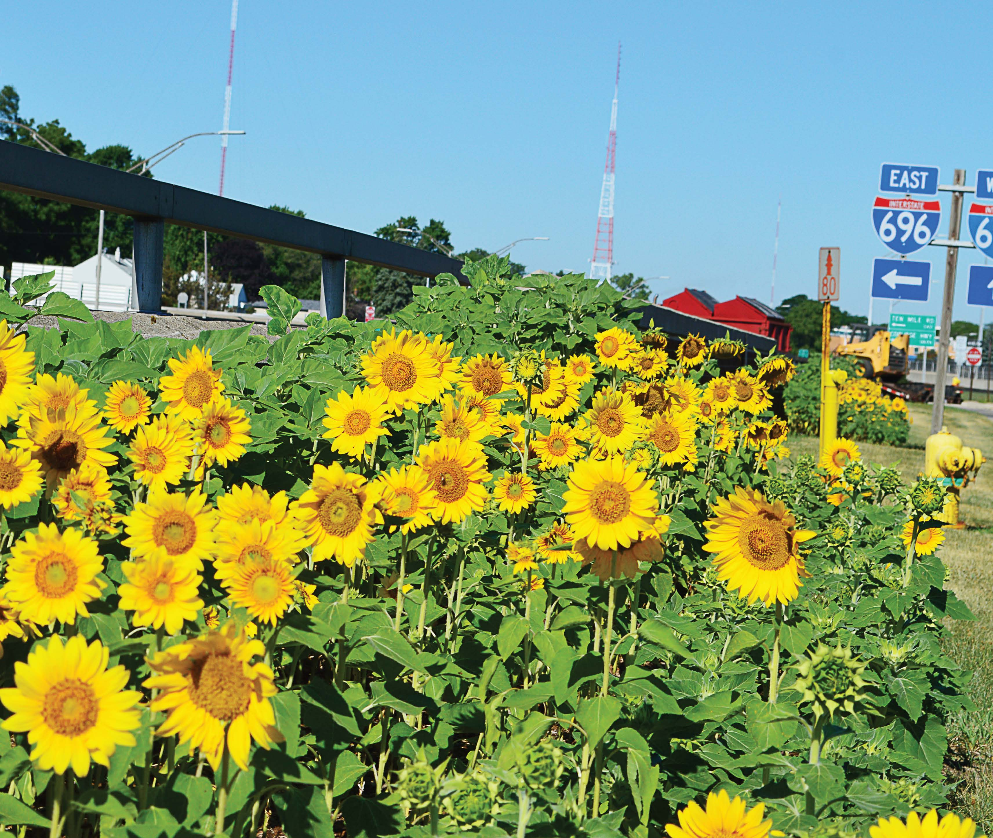 Sunflowers give Oak Park residents a sense of place – The ...