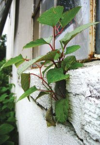 The U.S. is currently unprepared to handle Japanese knotweed, and spreading awareness is key to preventing its spread. Pictured is Japanese knotweed that has grown through a building's wall. (Photo provided)