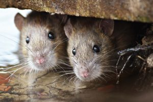 Rodents tend to become a pest control issue when construction takes place or littering allows them a readily available food source. Maintaining regular pest control contracts can help to deter the issue when it arises. (Shutterstock.com)
