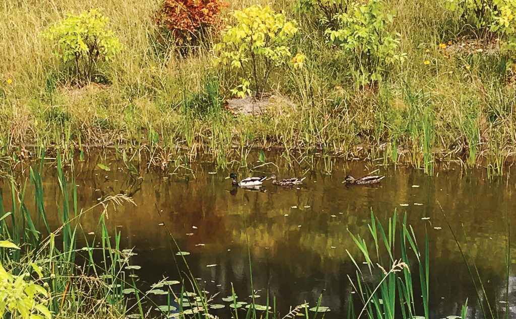 Wildlife soon moved into the neighborhood thanks to a created wetland in Albany, N.Y. This wetland was created to mitigate decades of flooding in the Hansen Avenue neighborhood of Albany. (Photo Provided)