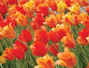 Holland, Mich., has embraced the legacy left by its Dutch founders, fi rst planting 100,000 tulips in 1929. Since then about 5 million tulips have been planted across town, and the city has also incorporated other Dutch influences into its cityscape. (Photo provided)