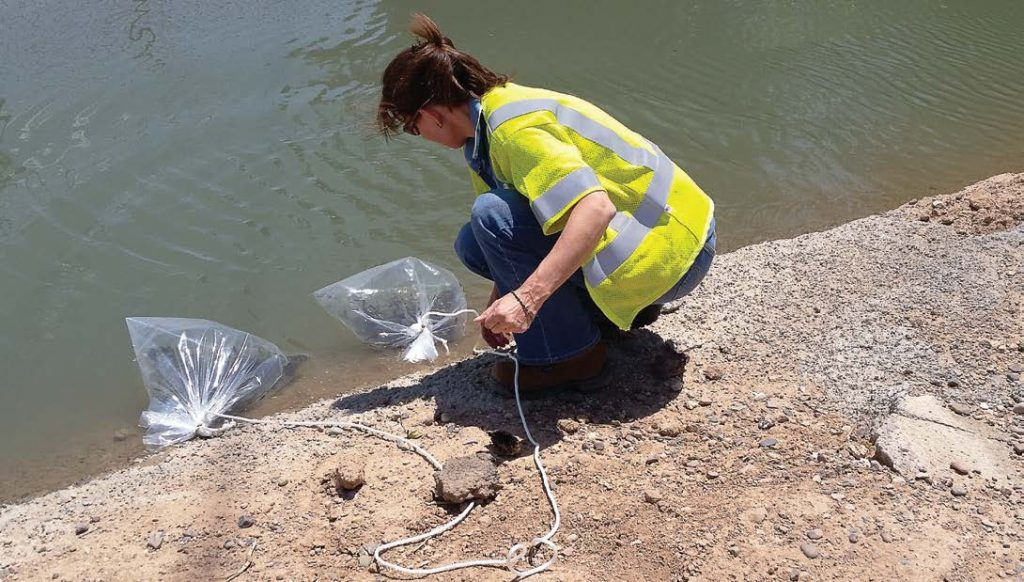 A SRP employee prepares to release mosquito fish into a canal. The fish eat mosquito eggs and larvae before they can mature, lessening the mosquito nuisance during monsoon season. (Photo provided)